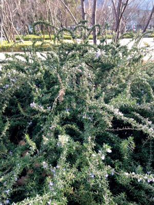 ローズマリーの茂み