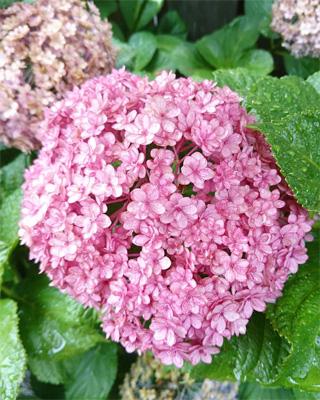 八重咲き 紫陽花 てまりてまり