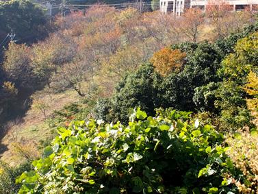 城山台・山桜