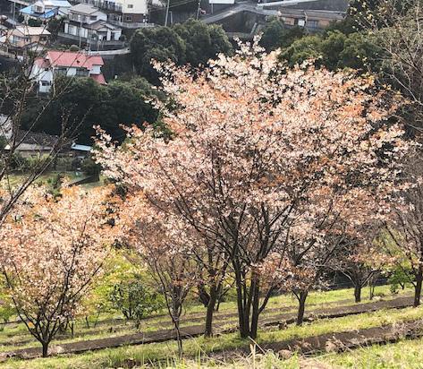 城山台山桜3/17
