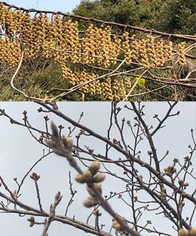 基部市の花と桜の蕾
