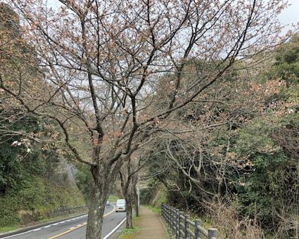 3月21日桜1