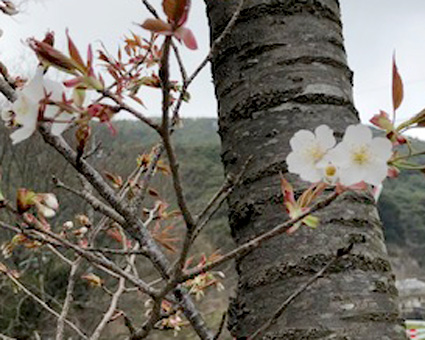 3月21日桜2