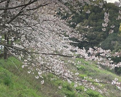桜328.1