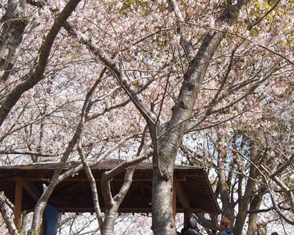 桜の里公園1