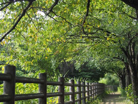 稲佐山道桜並木