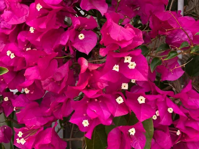 ブーゲンビリアの花