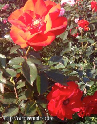 御苑の薔薇