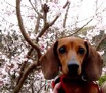 彼岸桜チョコ