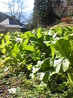 野沢菜の畑
