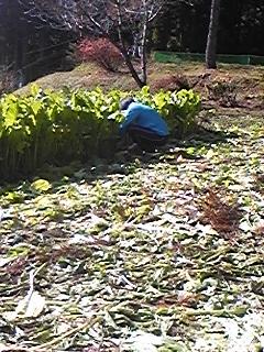 刈り取り風景