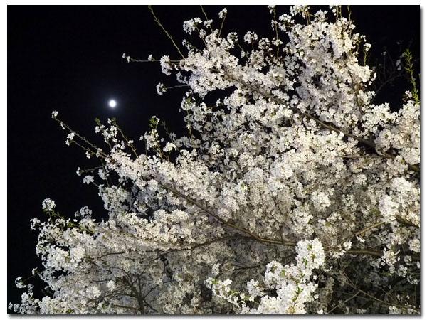 夜桜と月2.jpg