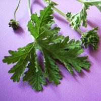 blog-geranium.jpg