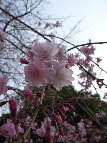 豪徳寺 しだれ桜