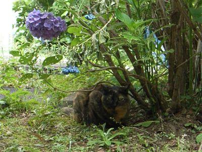団地 野良猫 サビちゃん 紫陽花コラボ