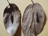 左がオオムラサキの幼虫。右はゴマダラチョウという蝶の幼虫です。よく似ていますね。