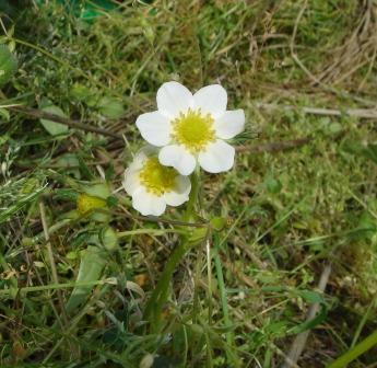畑のいちごの花 20070427