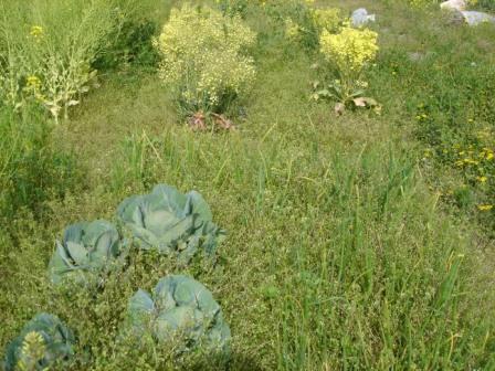 タマネギ埋もれる.... 20070427