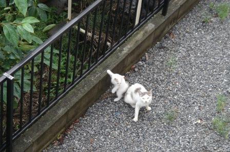 20100628 警戒中の母猫とワンパク子猫.JPG