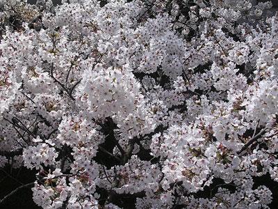 真間川の桜2