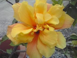 黄色い八重のハイビスカス