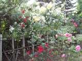 青い森公園の薔薇