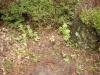 庭の咲いてしまったフキノトウ