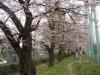 仙台二高の桜