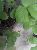 ミニイチゴ050814