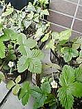 2006年4月のイチゴ