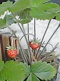 今年のイチゴ