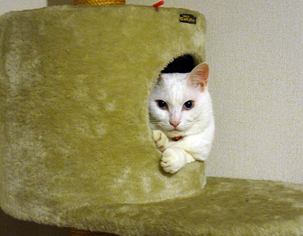 白猫 ノビアさん