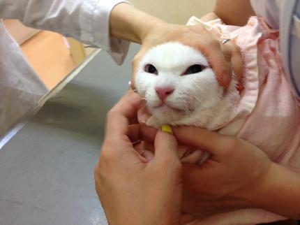ノビア 白猫 歯石取り
