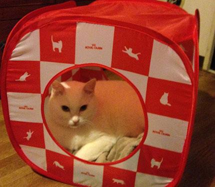 白猫 ノビア