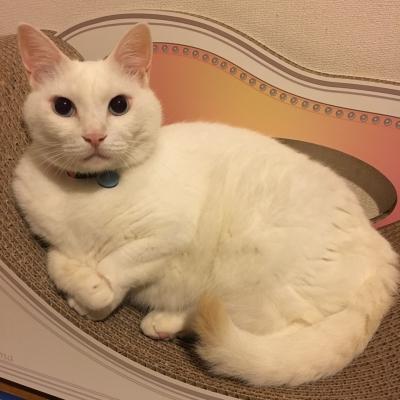 白猫 ノビアさん カリカリーナ