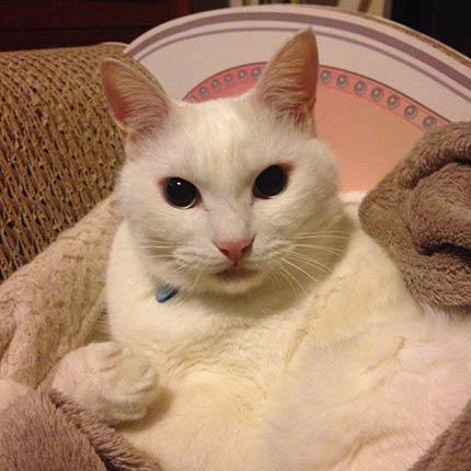 ノビアさん 白猫