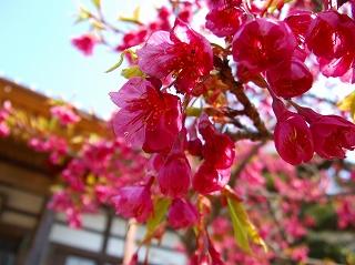 20080301緋寒桜