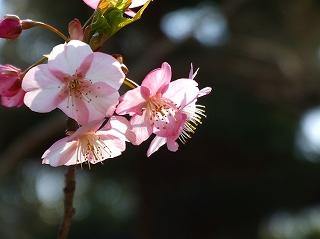 20080301河津桜