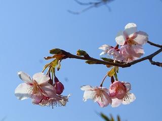 20080301勝浦灯台下の桜