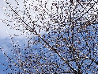桜2006