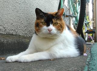 デブ三毛猫ちゃん2