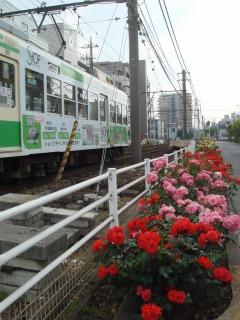 ちんちん電車とバラ