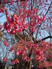 寒緋桜・上野公園