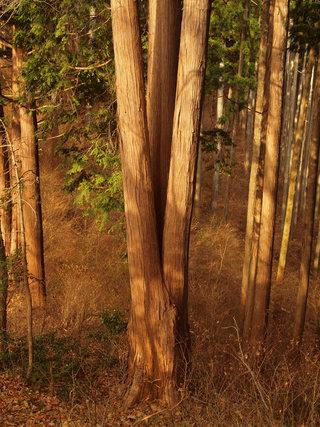 キングギドラ檜