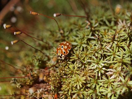 白樺群生林テントウ虫