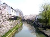八幡堀の桜1