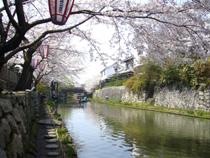 八幡堀の桜2
