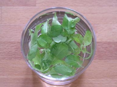 テラス栽培のルッコラを微炭酸水でつけ置き洗い