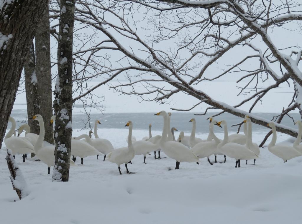 前浜の白鳥