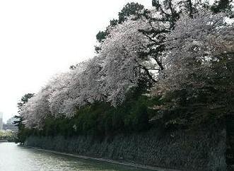 駿府公園の桜
